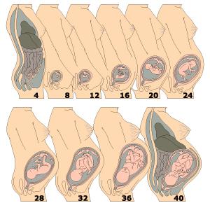 26 weeks pregnant body diagram female pregnant body diagram #8