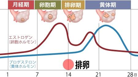 黄体ホルモンと卵胞ホルモンの分泌