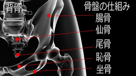 骨盤の仕組み