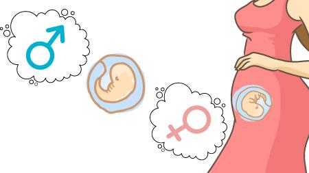 生殖器の形成がはじまります