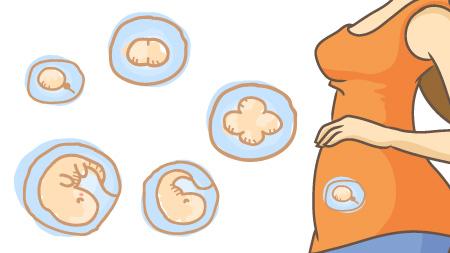 受精卵が自力で大きくなるための基本環境が整う