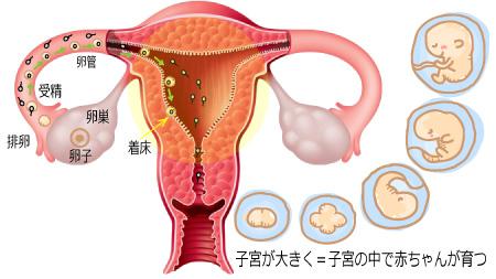 子宮が大きく=子宮の中で赤ちゃんが育つ